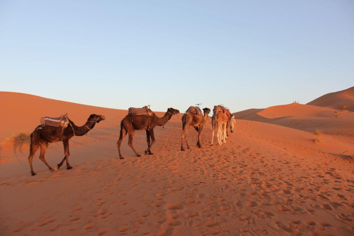 merzouga-camels